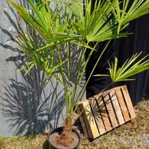 TC10 Himalayan Palm