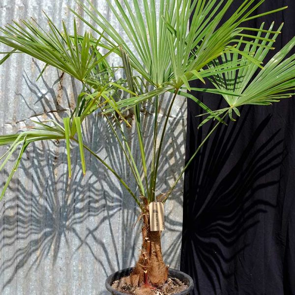 TC01 Trachycarpus Fortunei