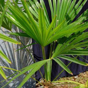 TC02 Himalayan Palm