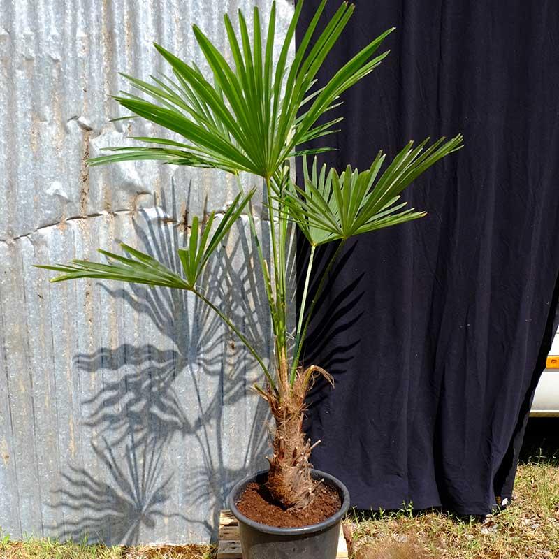 Trachycarpus Fortunei Himalayan Palm Tc03 Palms Uk