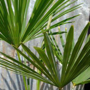 TC03 Himalayan Palm