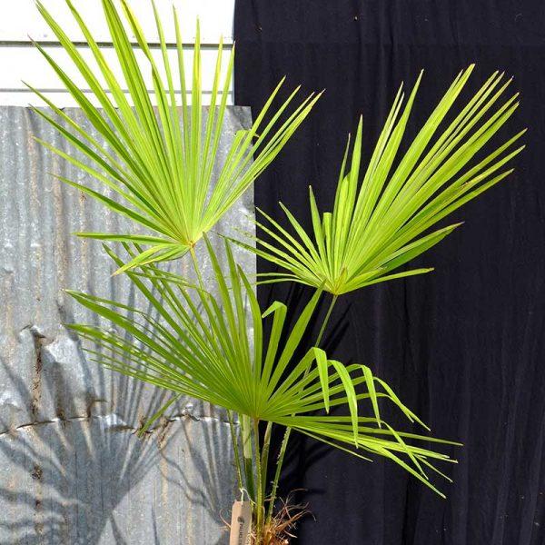 TC04 Himalayan Palm