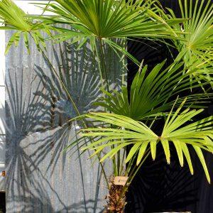 TC05 Himalayan Palm