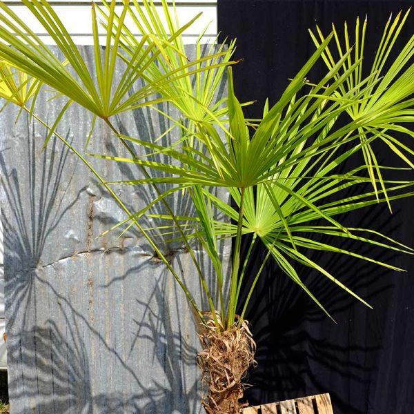 TC06 Himalayan Palm