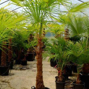 TC07 Himalayan Palm