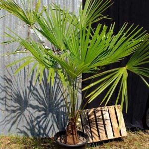 TC08 Himalayan Palm