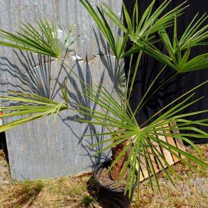 TC09 Himalayan Palm