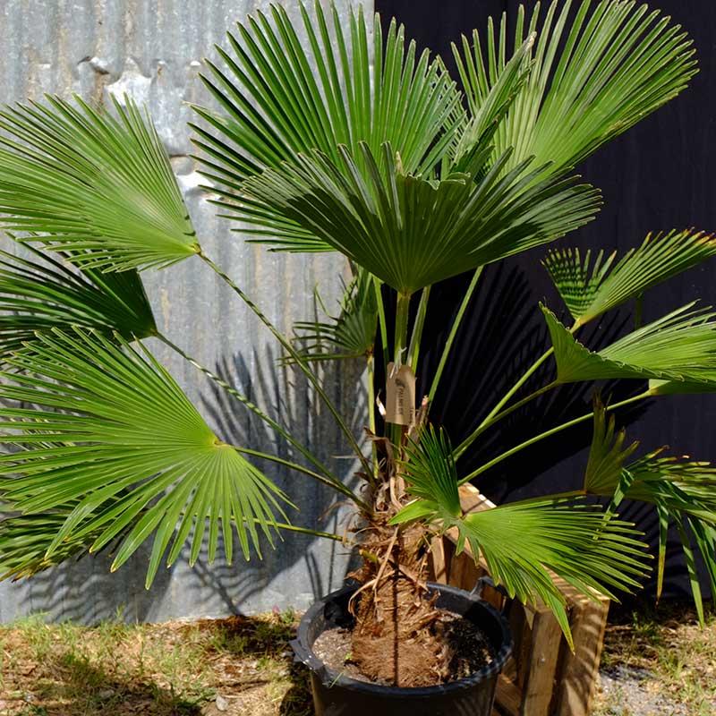 Trachycarpus Wagnerianus Miniature Chusan Palm Tcw04