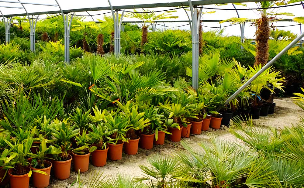 An image of the Palms uk poly tunnell full of healthy Palm trees at various growth stages