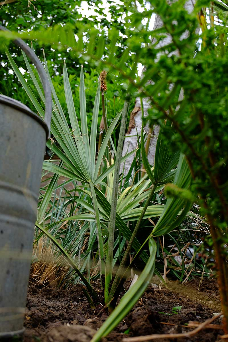 palms otside in the garden