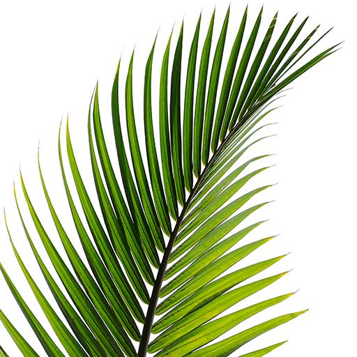 Palms UK horticultural- hardy palms for uk gardens